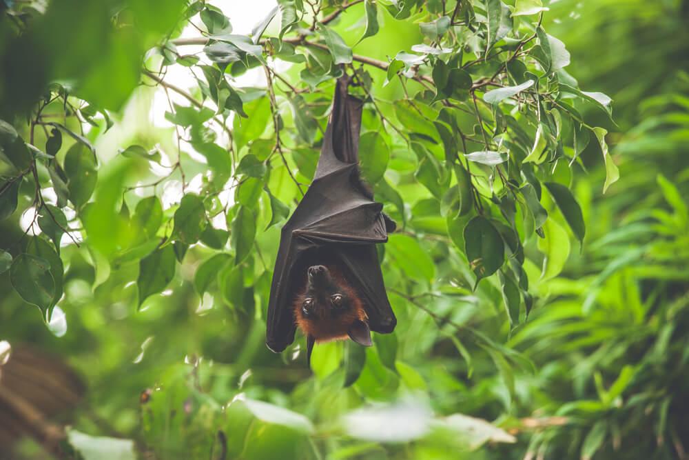 Sopa de morcego